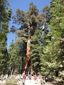 A giant Sequoia